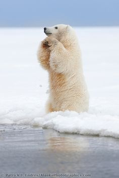 Young polar bear cub stands in the snow along the shore of the Beaufort Sea, barrier Island, arctic, Alaska. | AlaskaPhotoGraphics.com |