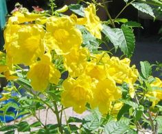 Texas native plants Yellow Bells also known as Esperanza Zone Exposure: Full sun Size: Three to four feet as an annual. Water: Other details: This plant is attractive to bees, butterflies an Texas Landscaping, Texas Plants, Easy Plants To Grow, Texas Gardening, Drought Tolerant Plants, Backyard Makeover, Mellow Yellow, Bright Yellow, Native Plants