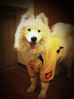 Colombian Doggy #Samoyedo #Samoyed #Dog