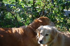 my girls eating blueberries off the bushes out in the backyard