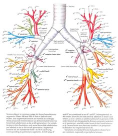 lung anatomy netter - Google Search