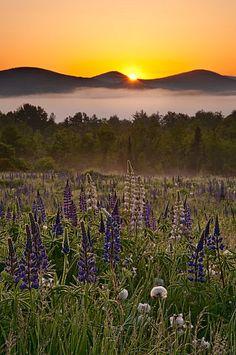 Lupine Sunrise  Michael Blanchette