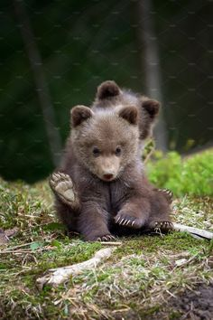 Ad: Bear by Byrdyak on Creative Market. Wild brown bear cub closeup in summer forest Bear Pictures, Animal Pictures, Nature Animals, Animals And Pets, Wild Animals, Cute Baby Animals, Funny Animals, Baby Pandas, Photo Ours