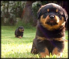 colorful pictures of rotties | rottweilers puppies picture.jpg