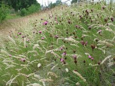 Melica ciliata, commonly called Hairy Melic or Silky Spike Melic together with Carthusian Pink (Dianthus carthusianorum) Meadow Garden, Dry Garden, Garden Soil, Garden Plants, Minimalist Garden, Planting Plan, Sloped Garden, Plant Identification, Low Maintenance Garden
