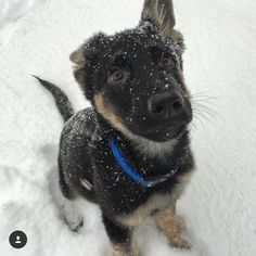 Life's discoveries  You are just too adorable Max @the_gsd_duo Enjoy the snow  #germanshepherd #snow #snowflakes #gsdpuppy #germanshepherdpuppy #cute  #gsdsofigworld by gsdsofigworld