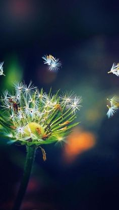 Dandelion seeds hd wallpaper for mobile screen savers Dandelion Clock, Dandelion Wish, Dandelion Seeds, S4 Wallpaper, Galaxy Wallpaper, Blowin' In The Wind, Foto Art, Jolie Photo, Make A Wish