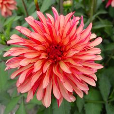 50 Dahlia 'Gallery Art Deco'