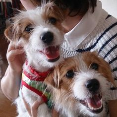 Jack Russell terriers. I love it, they are so cute, and one day I will be at the right spot to have time for one.