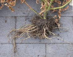 The roots of a tomato plant are essential for its health and productivity but are often attacked by soil-based pathogens. Here in this post, I will discuss the tomato root rot problem and what you can do to prevent it from happening to your plant. Roots of the tomato plants... Growing Veggies, Fast Healthy Meals, Garden Shrubs, Tomato Plants, Hobby Farms, Trees And Shrubs, Food Hacks, Food Tips, Gardening Tips
