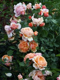 'Elizabeth Stuart' | Shrub Rose. Dominique Massad, 2003 | © Oliver