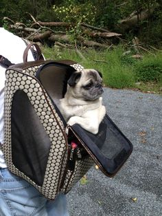 (5) Just chillin' in my pug pack! | A community of Pug lovers!