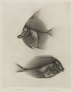 X-ray photo of two fish by Eduard Valenta & Josef Maria Eder, 1896.