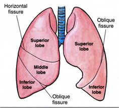 Lung Anatomy Diagram   ... : Thorax,Lungs,Heart Anatomy ...