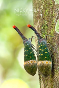 Lantern Bug (Pyrops Pyrorhyncha) ~ By Nicky Bay Cool Insects, Bugs And Insects, Beautiful Creatures, Animals Beautiful, Cute Animals, Weird Creatures, All Gods Creatures, Les Reptiles, Cool Bugs