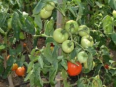 ROȘII FĂRĂ CHIMICALE. Află trucul formidabil al firului de cupru Vegetables, Home, Journals, Green, Plant, Vegetable Recipes, Veggies