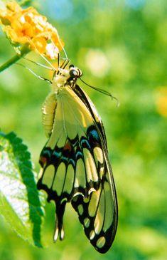 Giant Swallowtail Butterfly c1988 / Tampa, Florida / PHOTO BY Melanie Petridis