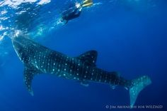 Amy Tan: What You Learn When You Swim Eye-To-Eye With A Whale Shark