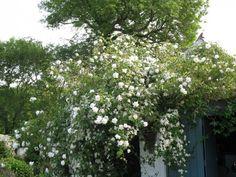 Rosa Mme. Alfred Carriere and Clematis wilsonii; Dyffryn Fernant Garden Pembrokeshire