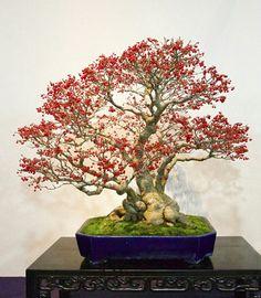 2017 Kokufu Bonsai Exhibition– Part 2 Bonsai Art, Bonsai Garden, Bonsai Trees, Bonsai Flowers, Ficus, Permaculture, Diy Plante, Boston Ivy, Acer Palmatum