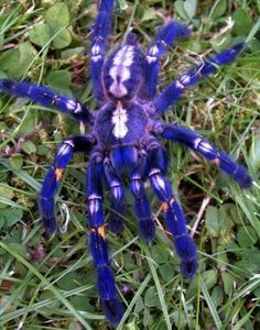 Gooty Sapphire Ornamental Tree Spider (Poecilotheria metallica) - VERY VERY RARE - FOUND ONLY IN PARTS OF SOUTH EASTERN INDIA AND SRI LANKA.  CRITICALLY ENDANGERED.