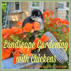 Landscape Gardening with Chickens