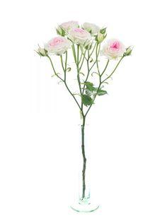 Verzweigte rosa Rosen der Sorte 'Mimi Eden' sind beliebte Blumen zu Hochzeitsdekorationen und Brautsträußen - jetzt mehr entdecken auf Blumigo.de! Ganzjährig Saison im Januar, Februar, März, April, Mai, Juni, Juli, August, September, Oktober, November und Dezember. #blumen #schnittblumen #hochzeit #hochzeitsblumen #hochzeitsdeko #weddingflowers #roses