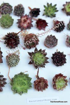 100 Sempervivum mini succulents 50 unique cuttings Collection wholesale bulk Rosette Succulent Hens n Chicks wedding garden no pots on Etsy, $93.40