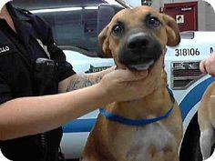 Mesa, AZ - Boxer/Pit Bull Terrier Mix. Meet A3498326, a dog for adoption. http://www.adoptapet.com/pet/11451354-mesa-arizona-boxer-mix