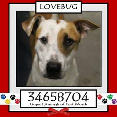 TO BE DESTROYED 05/04/17 ***REASON: MEDICAL*** LOVEBUG - 1 years old - Pit Bull Terrier Mix - 34658704 - Upper Respiratory Infection - #34658704 - FOR MORE PICS, VIDEOS & INFO: http://www.dogsindanger.com/dog/1488736046195