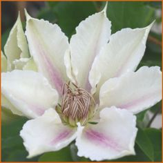 Clematis Corinne : Corinne is a heavy bloomer in spring and again at the end of summer with repeats in between.
