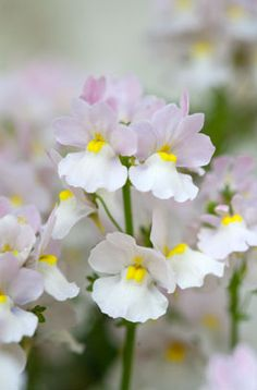 RHS advice & tips on garden & indoor plants | Plant finder & selector / RHS Gardening - Nemesia from dad!