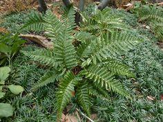 Polystichum polyblepharum, the Korean tassel fern, has a vase-shaped growth habit, reaching two feet tall and two feet wide.