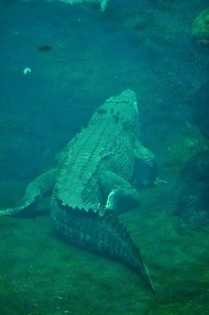 Wildlife World - Crocodile Nature Animals, Animals And Pets, Cute Animals, Reptiles And Amphibians, Mammals, Wildlife Photography, Animal Photography, Saltwater Crocodile, Life Under The Sea