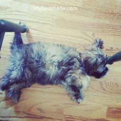 Sleepy time for Sulley.  #mallardmade #shihtzusofinstagram #shihtzu #bichon #bichonfrise #bichonsofinstagram #teddybear #teddybeardog #sulley #monstersinc #disney #sleepingpuppy #puppiesofinstagram
