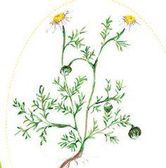 la camomille romaine ou noble est souvent sauvage en Provence... Après distillation, son eau florale est un grand calmant des petits et grands en boisson et en bain. L'huile essentielle est efficace contre la sinusite, elle est antispasmodique, adoucissante, elle favorise créativité et méditation...Une goutte de cette huile essentielle stoppe les montées d'adrénaline après un choc émotionnel.