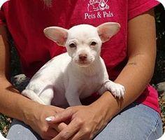 Lathrop, CA - Chihuahua Mix. Meet Juliet, a puppy for adoption. http://www.adoptapet.com/pet/15579495-lathrop-california-chihuahua-mix
