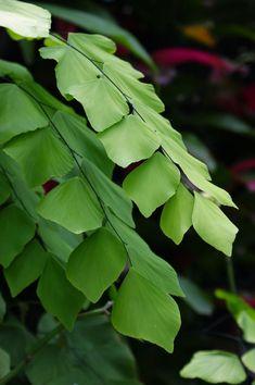Adiantum formosum (Giant maidenhair fern) – Home living color wall treatment kitchen design Tropical Garden, Tropical Plants, Fern Plant, Plant Leaves, Shade Garden, Garden Plants, Maidenhair Fern, Theme Nature, Vascular Plant