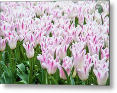 Lily Flowering Tulips Elegant Lady Metal Print by Jenny Rainbow. All metal prints are professionally printed, packaged, and shipped within 3 - 4 business days and delivered ready-to-hang on your wall. Choose from multiple sizes and mounting options. Art Prints For Home, Fine Art Prints, Cool Photos, Beautiful Pictures, Elegant Lady, Got Print, Any Images, Art Techniques, Tulips