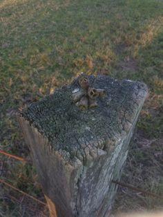 Gumnut. Fence