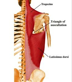 Triangle of auscultation... ( Trapezius : Medial border ) ( at the level of '6th' intercostal space )