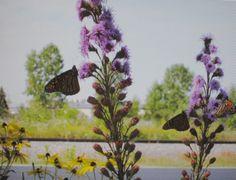 3 Monarchs on Rough Blazingstars (Gayfeathers) (Liatris) at the Wild Center…