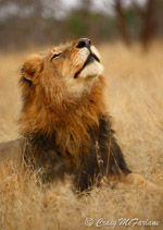 Wildlife photos for sale by Craig McFarlane: Professional Wildlife Photographer: Professional Wildlife Potographs for sale. Wildlife, birds, creative, b&w, macro photographs Photos For Sale, Lions, Wildlife, Canvas Prints, Pta, Creative, Photographs, Animals, Lion
