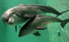 """Mamãe golfinho fica """"sorridente"""" em foto com filhote"""