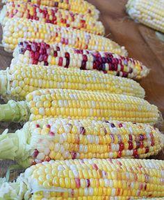Anasazi Corn,anasasi corn,anazazi corn,anazasi corn-heirloom - untreated - sustainable - vegetable seeds - Bountiful Gardens