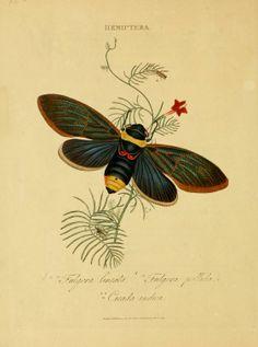 compendio de historia natural de los insectos de la india « NUBA