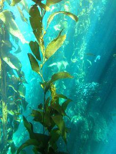 Kelp Forest by ~Aidan-Gull on deviantART