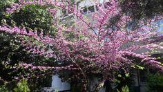 Sakura (Apr. 10, 2016)