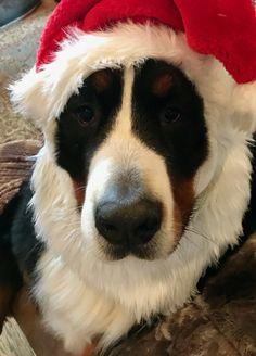 Santa Bernese Mountain Dog