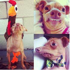 tuna the dog | Meet Tuna. Part chiquawa....part weinnie dog - and an unforgettable ...Haaa haaa haaa I just LOVE this DOG!!!